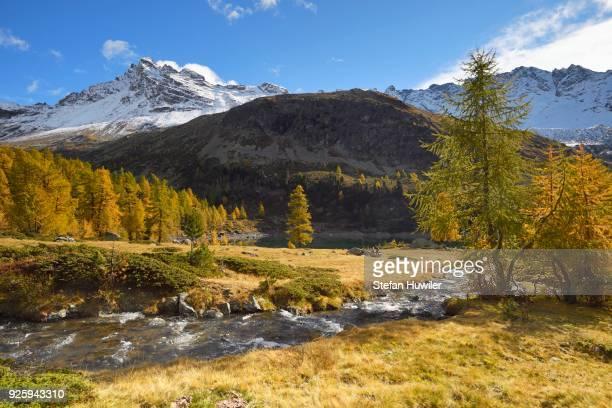 Larch forest in autumn, Lago di Val Viola, Corno di Dosde mountain, Val di Campo, Grisons Canton, Switzerland