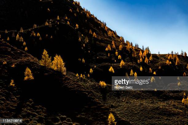 larch (larix decidua) on a dark mountain slope, vals valstal, south tyrol, italy - european larch stock pictures, royalty-free photos & images