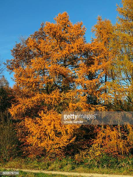 larch tree against blue sky - larch tree stock pictures, royalty-free photos & images