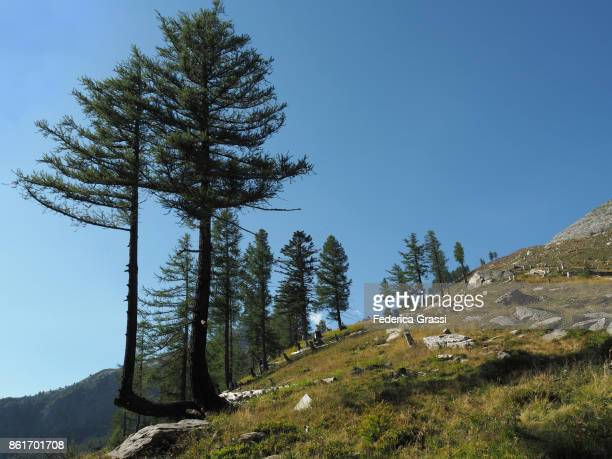larch trees forest partly destroyed by fires in bognanco valley - larch tree stock pictures, royalty-free photos & images