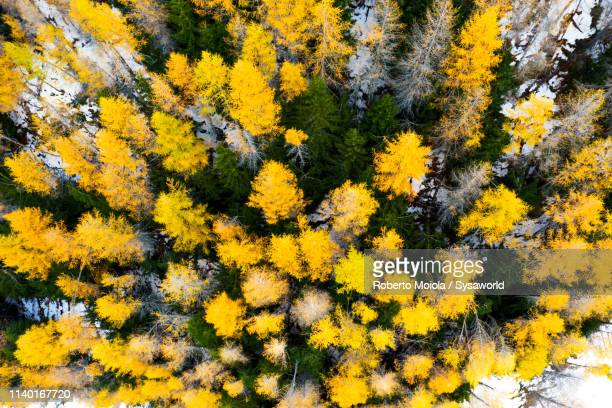 larch trees in autumn, valtellina, lombardy, italy - coniferous stock pictures, royalty-free photos & images