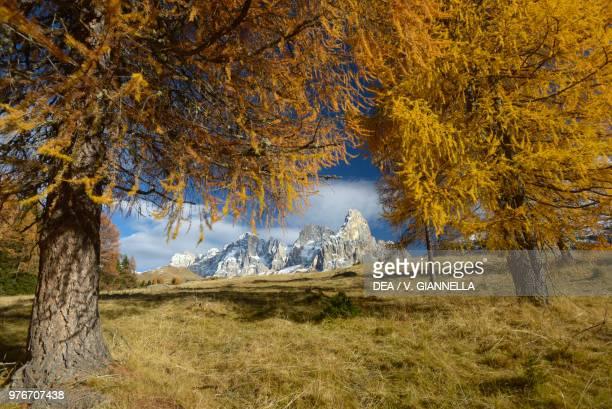 Larch trees in autumn with the peaks of Cima dei Bureloni Cima della Vezzana and Cimon della Pala in the background Rolle Pass Pala Group...
