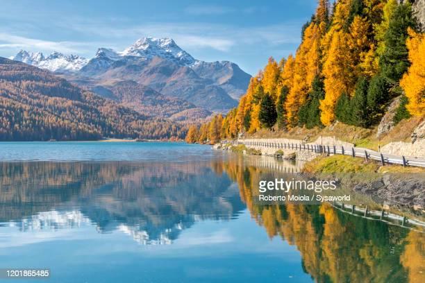 larch trees mirrored in lake silvaplana in autumn, st. moritz, switzerland - kanton graubünden stock-fotos und bilder