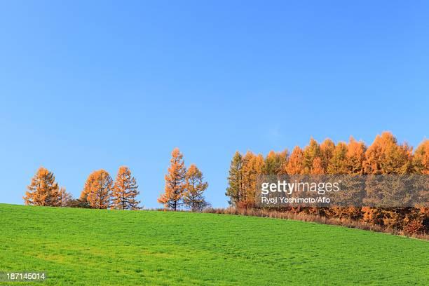 Larch trees on grassland and sky, Hokkaido