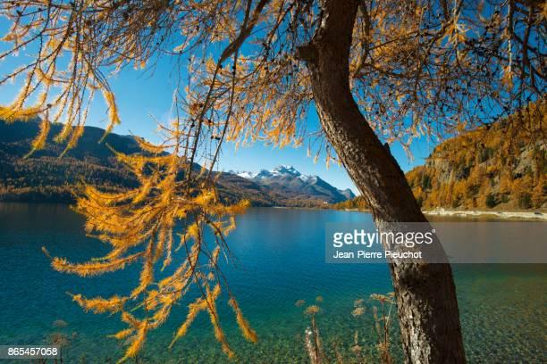 larches autumn 2 engadine switzerland - european larch stock pictures, royalty-free photos & images