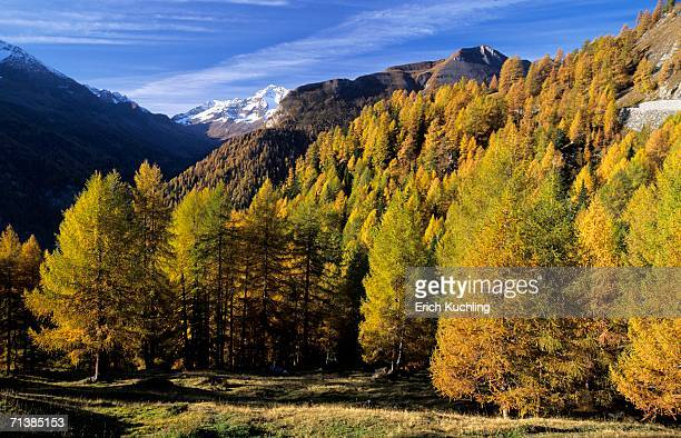 larches in national park hohe tauern, austria - larch tree stock pictures, royalty-free photos & images