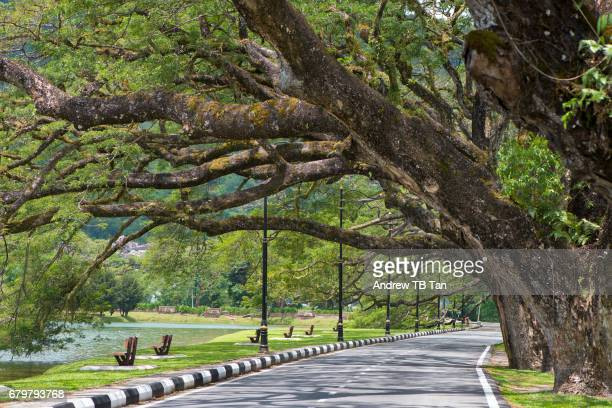 Large 120-year old rain trees form a canopy over a road beside Taiping Lake