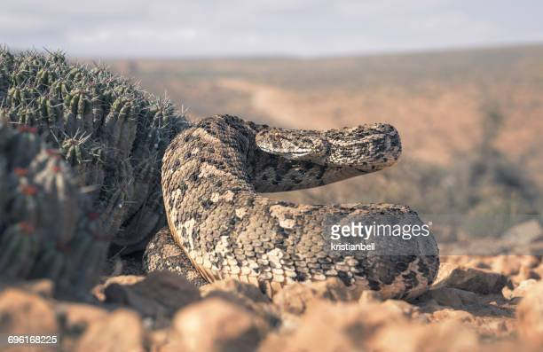 Large adult puff adder (Bitis arietans) by a cactus, Morocco
