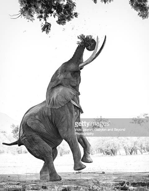 large african elephant on two feet at mana pools, zimbabwe - parte do corpo animal - fotografias e filmes do acervo