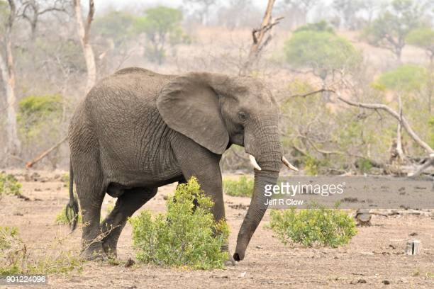 Large African Elephant Three