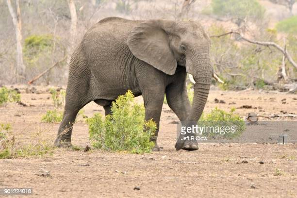 Large African Elephant Too