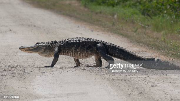 Large Alligator Crossing the Road