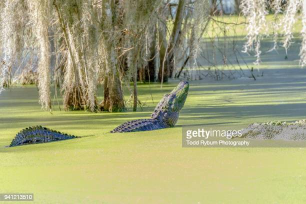 Large Alligator in the Marsh