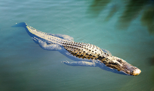 Large alligator swimming in Florida Everglades waters 695237348