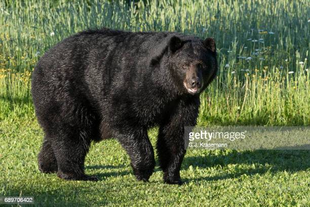 Large American Black Bear in summer grasses.