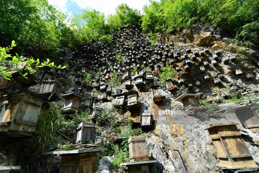 Bee-keeping on cliff : News Photo