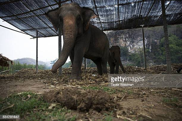 Large and small elephants relax in the shade at an elephant park on May 24 2016 in Mae Wang Thailand Elephant 'PooPooPaper' Park is an ecotourism...