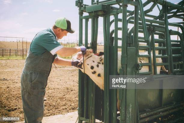 large animal livestock veterinarian - livestock stock pictures, royalty-free photos & images