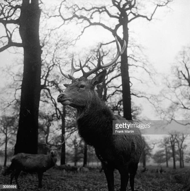 A large antlered stag in Richmond Park Surrey
