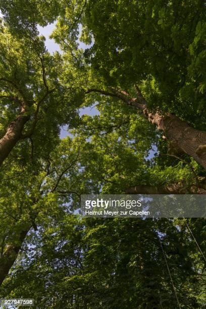 Large ash trees (Fraxinus excelsior), frog perspective, Mecklenburg-Western Pomerania, Germany