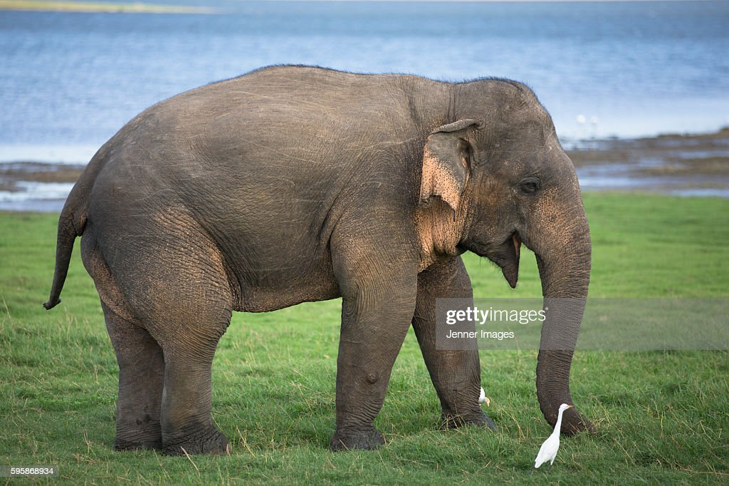 A large Asian Elephant in Minneriya National Park. : Stock Photo
