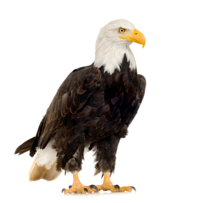 A large bald eagle on a white background 93212877