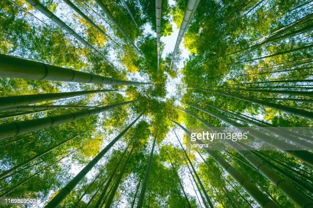 森の中の大きな竹林 - 竹 ストックフォトと画像