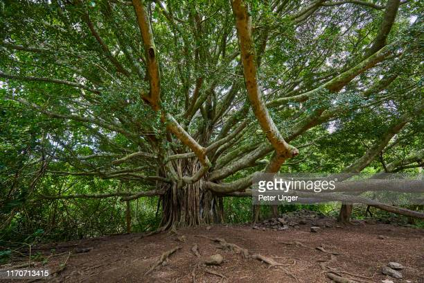 large banyan tree on walking path,kipahulu visitor centre,maui,hawaii,usa - ancient stock pictures, royalty-free photos & images