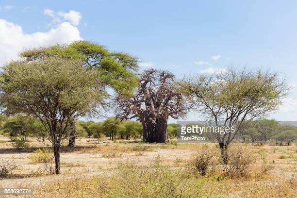 Large baobab tree (Adansonia digitata) in Tarangire National Park. July landscape in arid weather