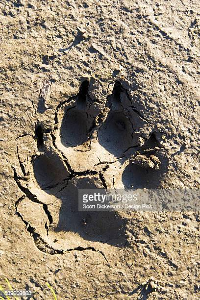 A Large Bear Paw Print In The Dirt