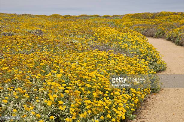 large bed of native yellow flowers - yarrow stock pictures, royalty-free photos & images