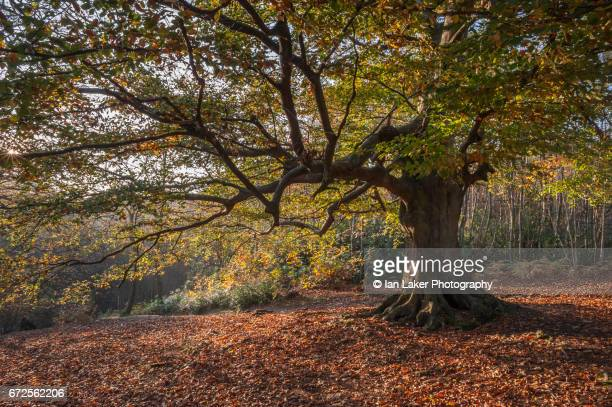 Large beech tree in autumn sun, Perrywood, Selling, Kent, England, UK.