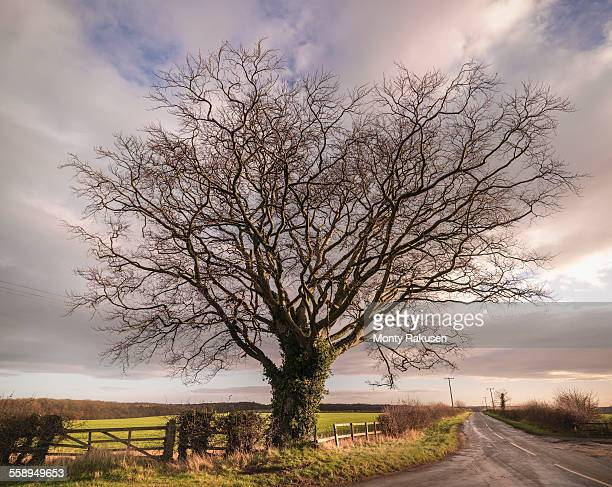 Large Beech tree, (fagus sylvatica) in Yorkshire
