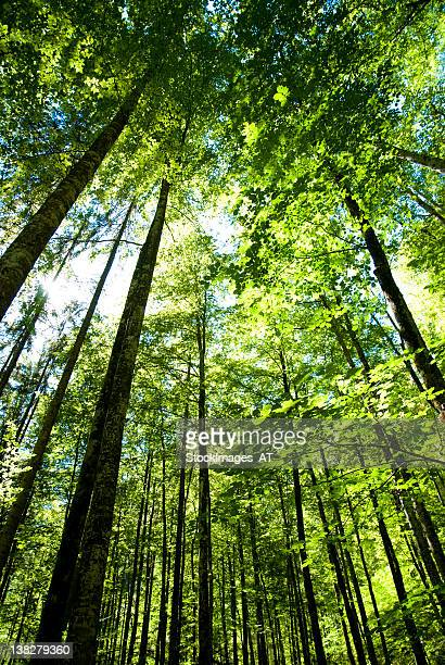 Large beech trees with wonderful ambiente in summer