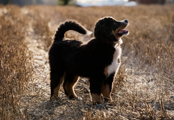 A large Bernese mountain dog, a pedigree breed with brown and white patches in black fur.