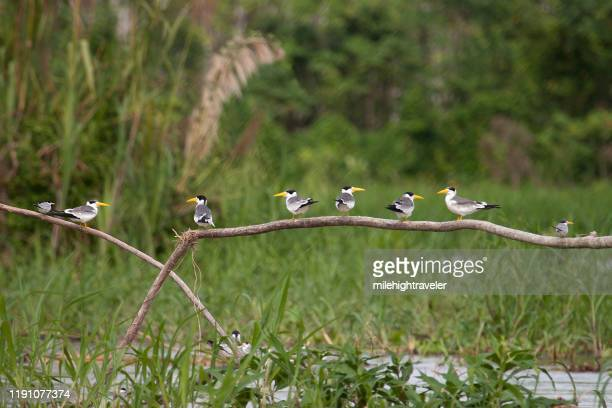 large billed terns perched in a row over amazon river peru - milehightraveler stock pictures, royalty-free photos & images
