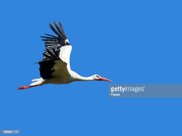 Cigogne volant