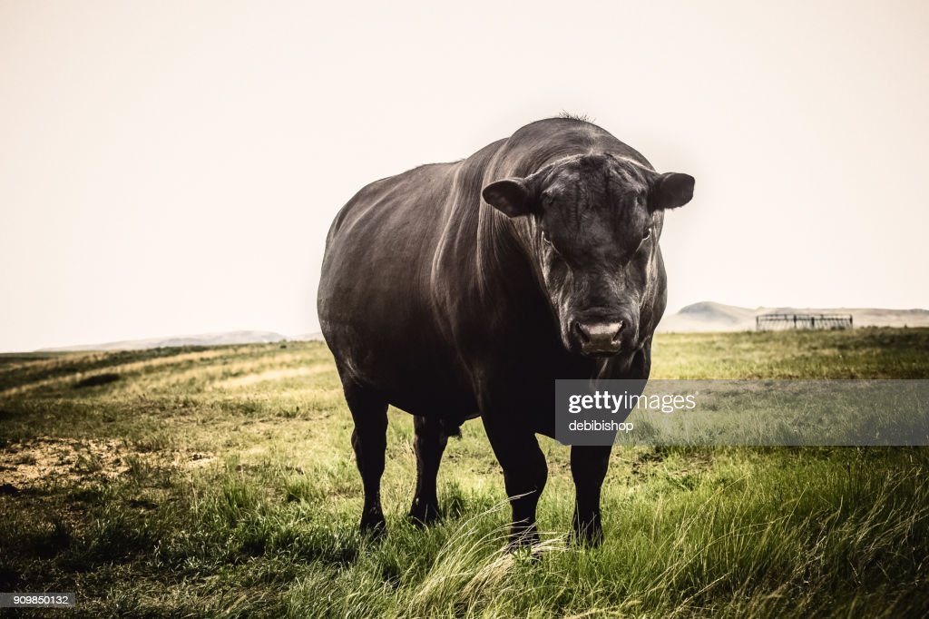 Large Black Angus bull close up with stern expression on his face, standing on Montana prairie grass : Stock Photo