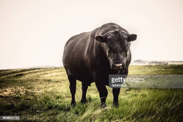large black angus bull close up with stern expression on his face, standing on montana prairie grass - bull animal stock photos and pictures