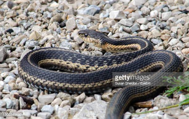 a large black rat snake slithers along the gravel near a lake - black rat snake stock pictures, royalty-free photos & images