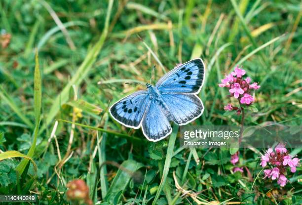 Large Blue Butterfly female part of reintroduced population Somerset UK