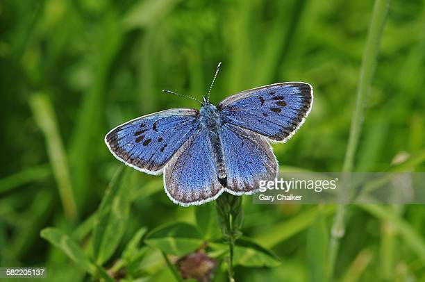 Large blue butterfly [phengaris arion]