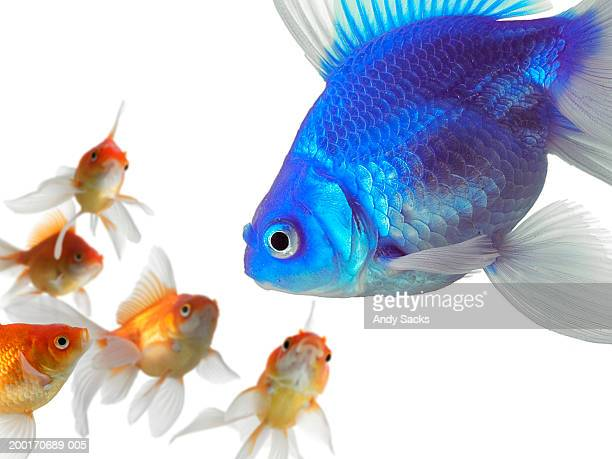 large blue goldfish (carassius auratus) looking at smaller goldfish - ugly duckling stock photos and pictures