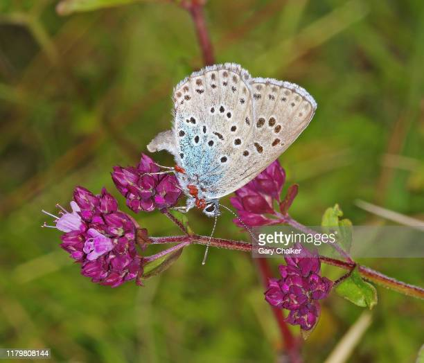 large blue [ phengaris arion] butterfly - gloucestershire stock pictures, royalty-free photos & images