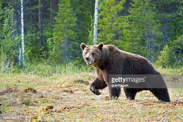 Large Brown Bear is running in a swamp, wildlife-shot