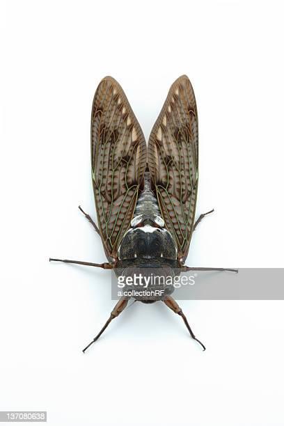large brown cicada - cicala foto e immagini stock