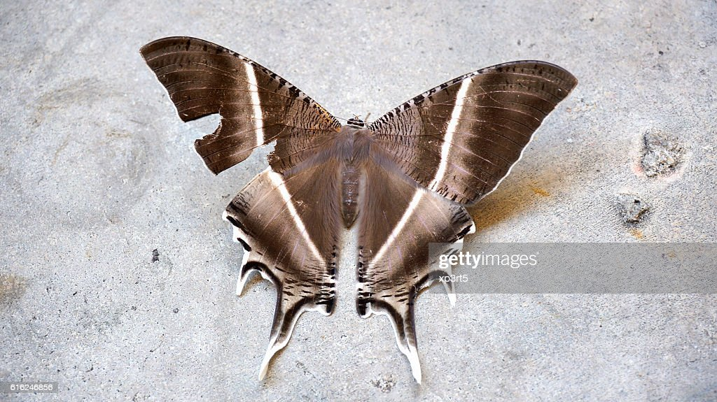 Large brown moth (Lyssa zampa) or Uranid Moth, Malaysia : Stock Photo