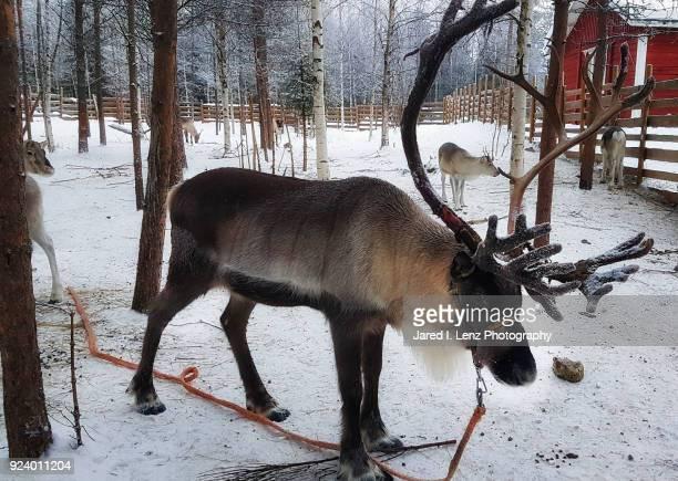Large Brown Reindeer in Finland