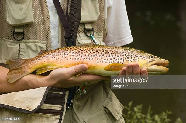 large brown trout - brown trout stock pictures, royalty-free photos & images