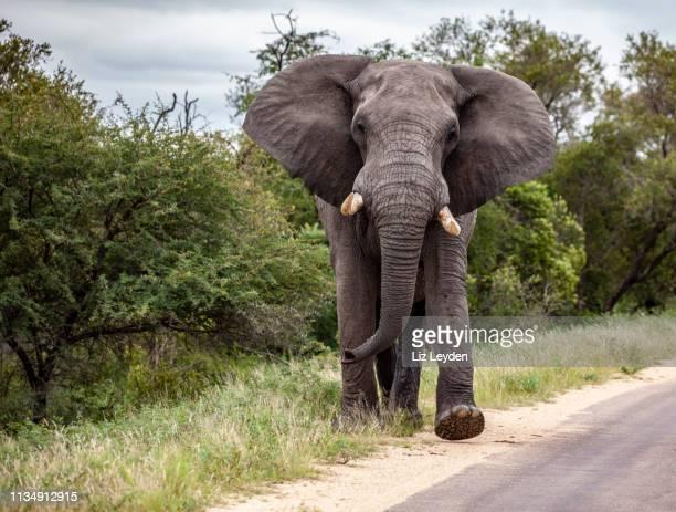 南アフリカ、クルーガー国立公園の道路沿いを歩いている間、発情で大きな雄牛のアフリカゾウ、その耳を羽ばたきます。 - ゾウ ストックフォトと画像
